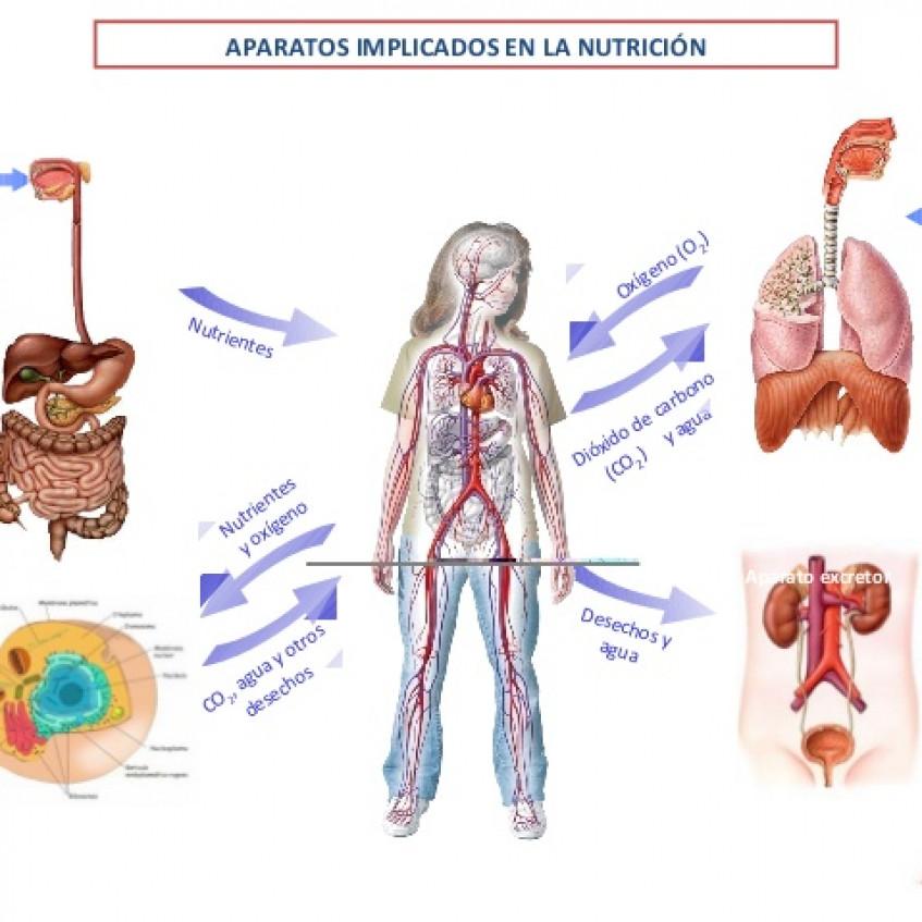 Excretor circulatorio y sistema el sistema como funciona