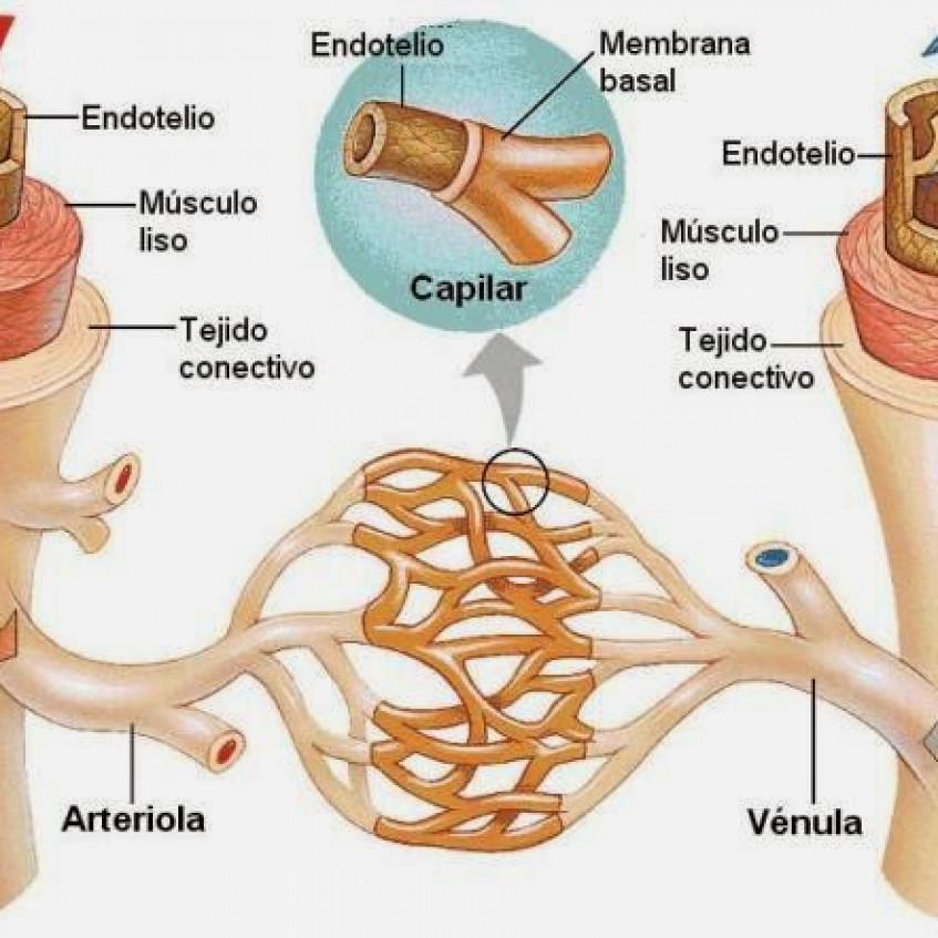 arterias y venas que son