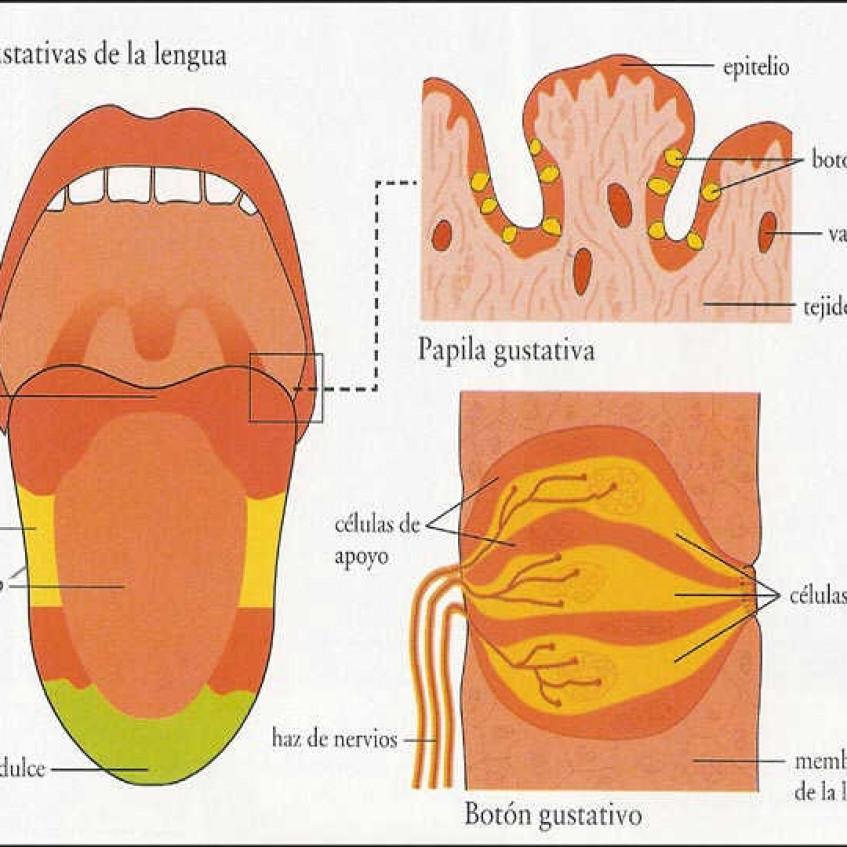 LA FUNCIÓN DE RELACIÓN: LOS SENTIDOS - Pictoeduca