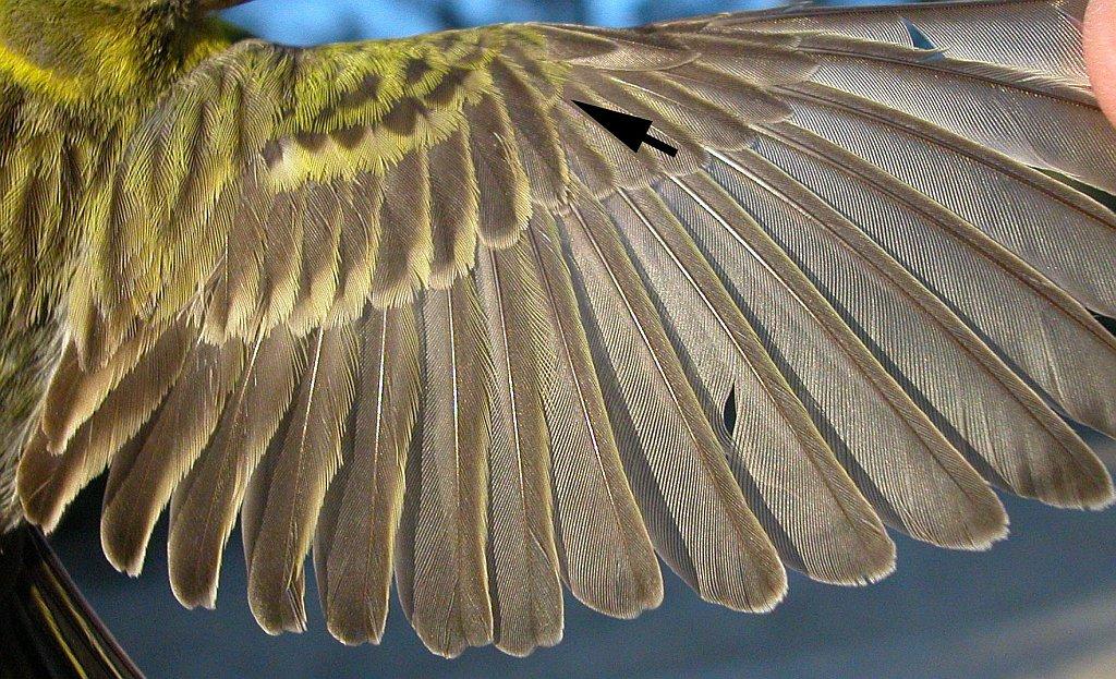 Asombroso Anatomía De Aves De Plumas Del Ala Ornamento - Anatomía de ...