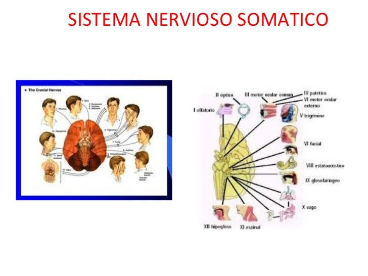 LA FUNCIÓN DE RELACIÓN: EL SISTEMA NERVIOSO - Pictoeduca